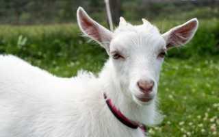 Сколько стоит коза: дойная, зааненской породы, как купить