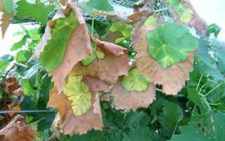 Засохли листья на винограде почему сохнут края и что делать