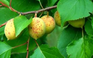 Абрикос маньчжурский декоративные деревья и кустарники описание