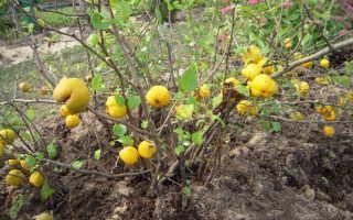 Как посадить айву осенью уход подготовка к зиме пересадка