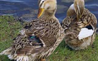 Башкирская утка: описание породы и особенности разведение в домашних условиях