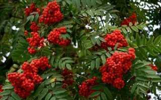Рябина красная красноплодная полезные свойствасорта фото