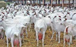 Разведение и выращивание коз как бизнес в домашних условиях 2019