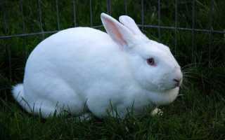 Вздутие живота у кроликов причины и лечение ЖКС народными средствами и медикаментами
