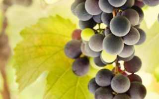 Пересадка винограда осенью различные методы
