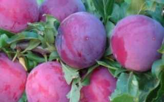 Слива Чемальская Узюк раскидистая розовая крупная