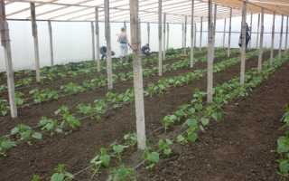Когда можно высаживать рассаду огурцов в теплицу