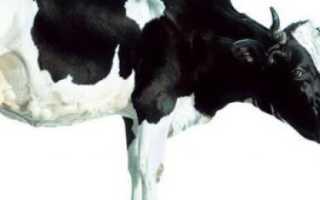 Ярославская порода коров характеристика с фото и видео