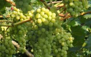 Виноград плевен — описание устойчивый к инфекциям рлодородный
