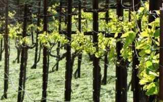 Молодой виноград и лоза весной уход подвязка