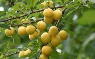 Как размножать алычу плодами окулировка