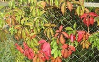 Девичий виноград девичьи слезы — название описание формирование куста