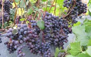 Виноград загадка шарова описание сорта посадка и уход