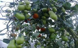 Сорта томатов классификация разнообразие характеристики видов помидоров