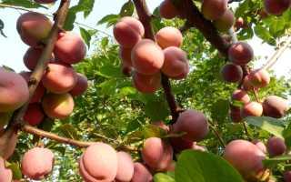 О саженцах алычи: как и когда правильно делать обрезку, выращивание и уход
