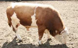 Как убивают животных на мясо в домашних условиях
