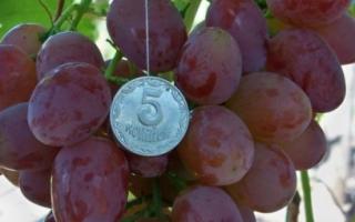 Виноград Рута описание отличий , особенности винограда Рута