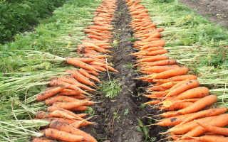 После чего можно сажать морковь предшественники
