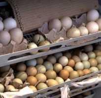 Инкубация фазаньих яиц обзор инкубаторов сроки температура