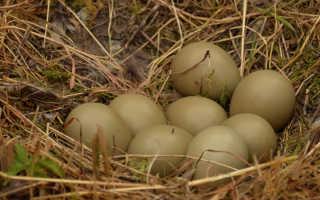 Полезно или вредно кушать фазаньи яйца и мясо. Фазан: польза и вред