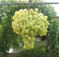 Виноград Тянь Шань (??, Tian Shan)