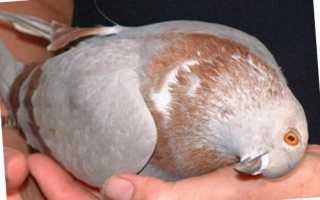 Вертячка у голубей лечение болезни чем опасна