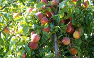 Как обрезать персик осенью когда схема