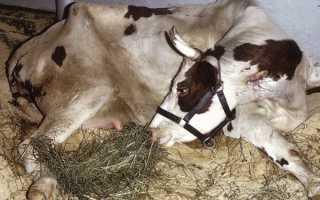 Лечение пареза у коровы симптомы профилактика