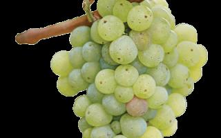 Сорт винограда рислинг описание
