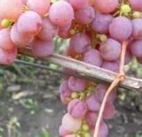 Виноград сорта Русвен и его особенности — Сорта винограда, Столовые