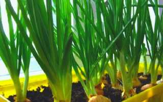 Как посадить и вырастить зеленый лук на подоконнике