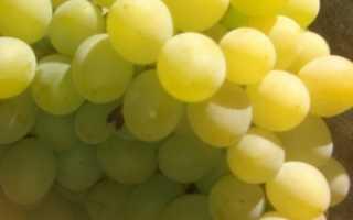Виноград Восторг Мускатный: фото, описание сорта