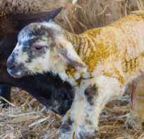 Как определить возраст козы по зубам рогам бороде