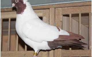 Крестовые голуби монахи обзор фото