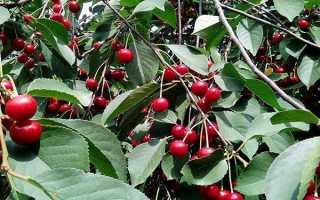 Болезни вишни описание и способы лечения