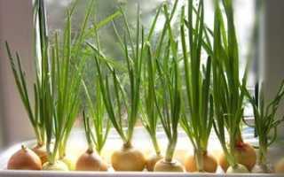 Как вырастить лук на подоконнике зимой – два способа выгонки лука на перо