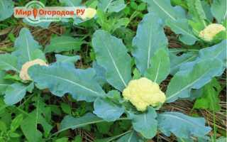 Как вырастить цветную капусту на огороде своими руками