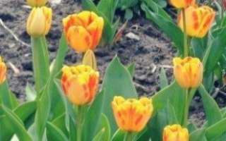 Как ухаживать за тюльпанами в саду?