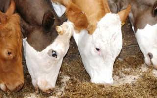 Кормление лактирующих коров в домашних условиях: рацион корма