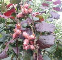 Лещина Краснолистная посадка и уход описание как размножить
