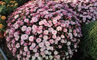 Посадка хризантемы и уход за ней осенью весной когда лучше