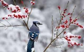 Какие птицы едят клюют зимой рябину