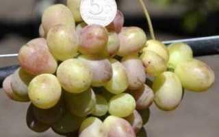Виноград королек описание особенностей сорта