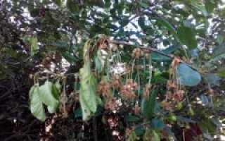 Черешня не проснулась после зимы. Почему сохнет вишня и как спасти дерево