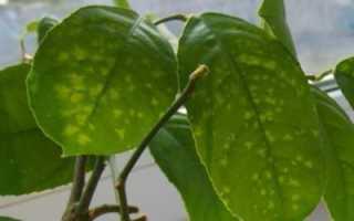 На листьях лимона появились желтые пятна: что делать, причины и лечение