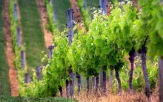 Виноградник для начинающих формирование кустов обрезка и подвязка