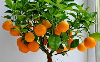 Как посадить мандарин из косточки в домашних условиях