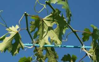 Созревание винограда. Как ускорить созревание ягод винограда