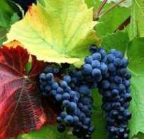 Виноград Красень: фото, описание сорта