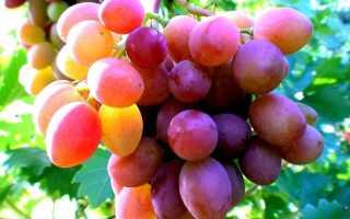 Ожог винограда на ягодах и листьях